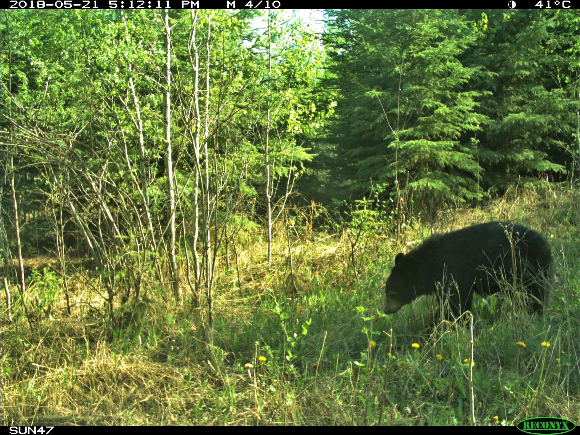 Black bear recorded as part of the photographic monitoring program.