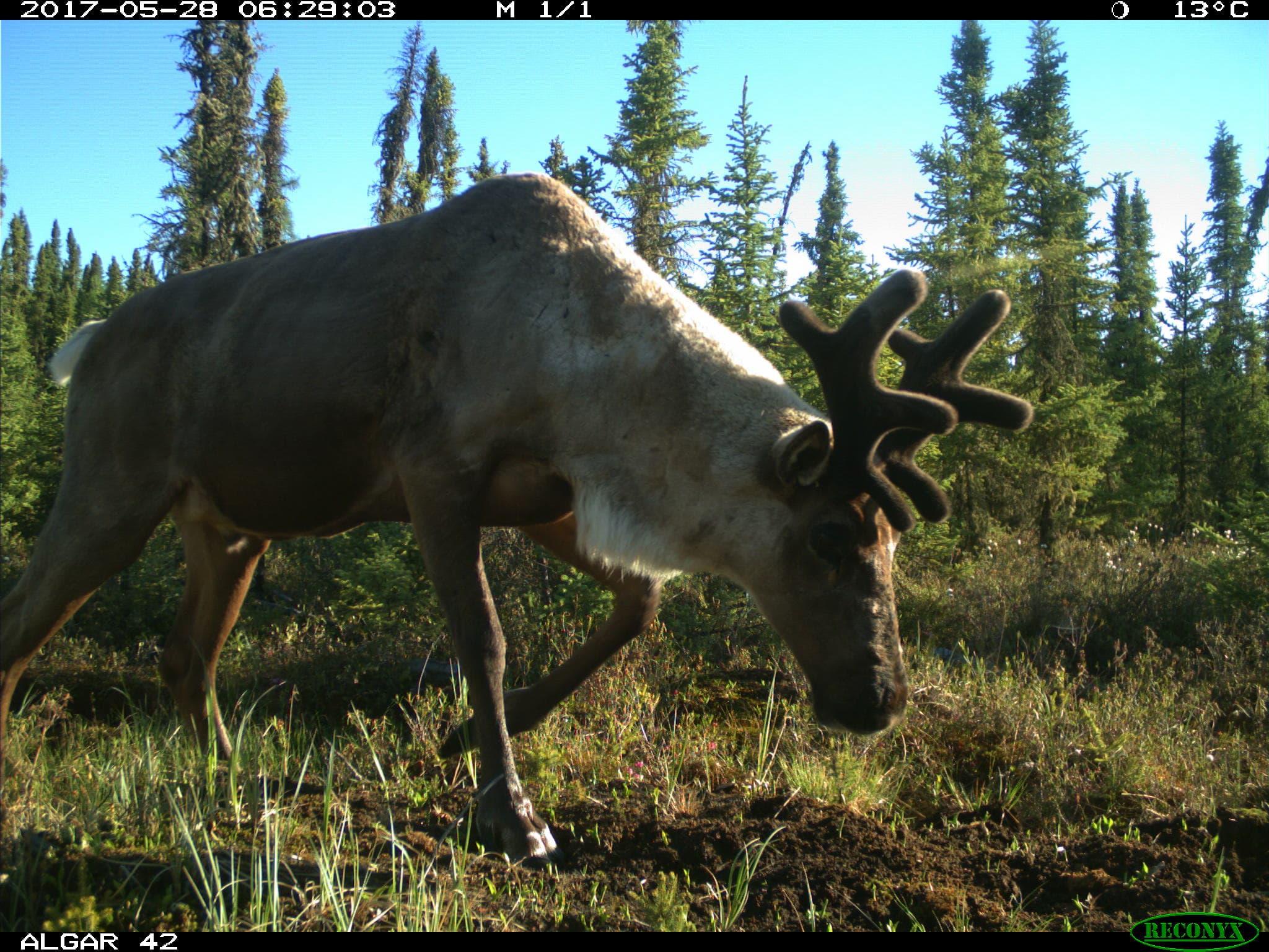 Image d'un caribou des bois captée dans le cadre du programme de surveillance photographique.