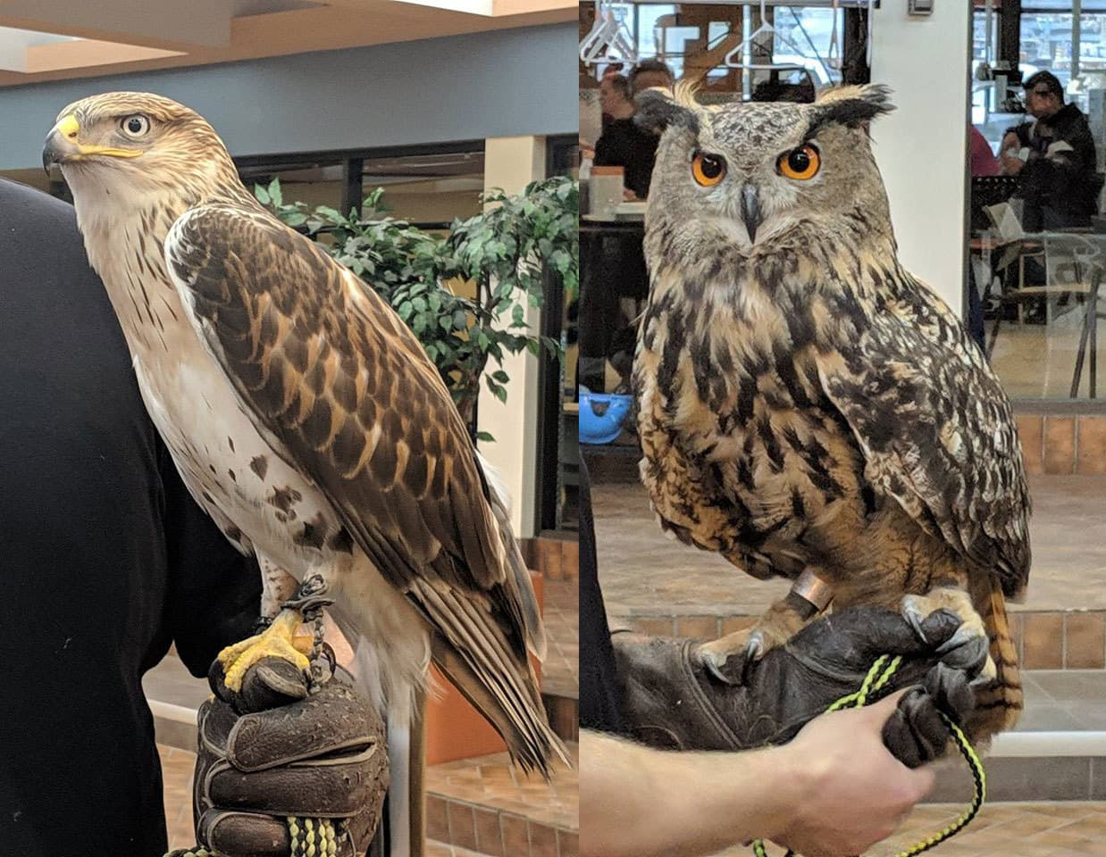 Clementine the owl and Freddy the hawk