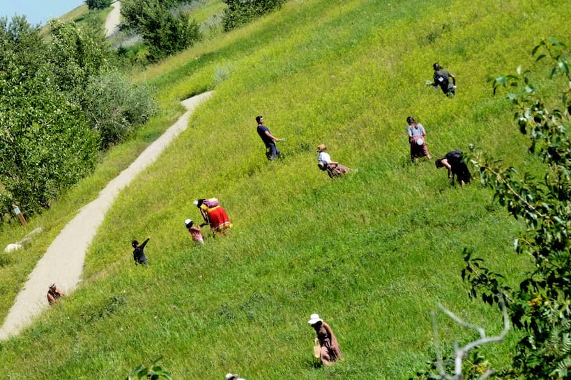 People scattered in a green field on a sunny day harvesting traditional medicine.