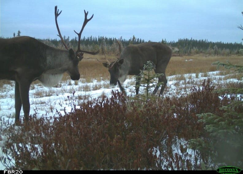 Two caribou spotted on a Suncor site.