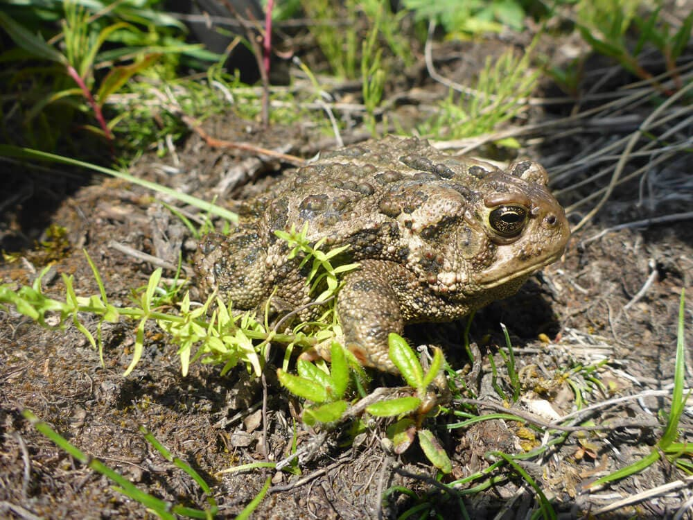 Canadian toad spotted at Suncor's Base Plant site