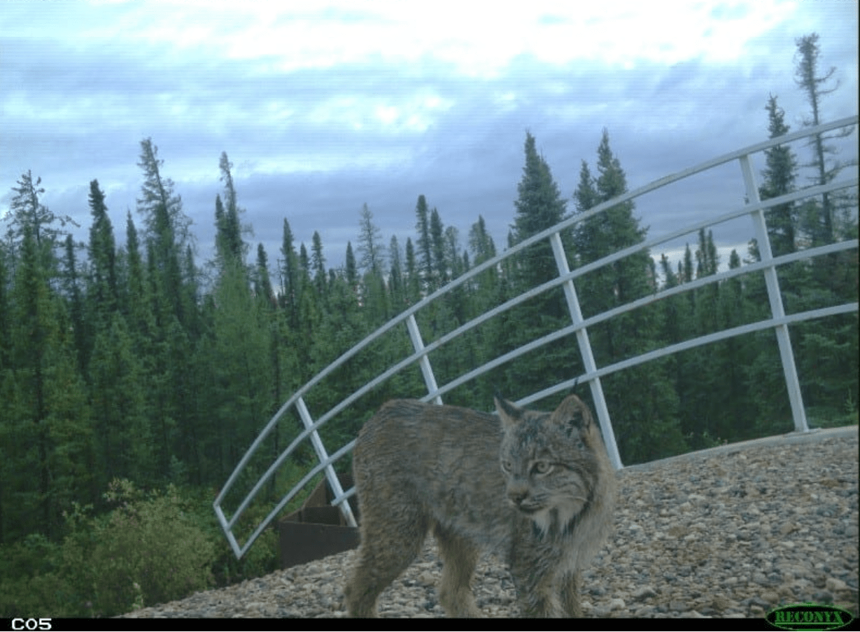 Lynx recorded as part of the photographic monitoring program