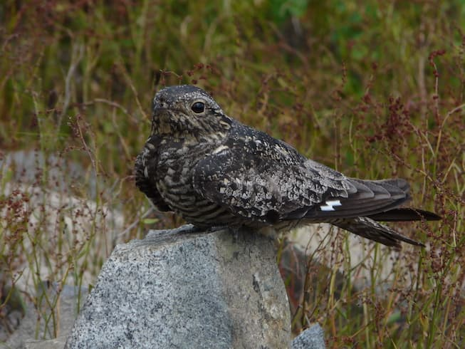 Common nighthawk sitting on a rock surrounded by grass