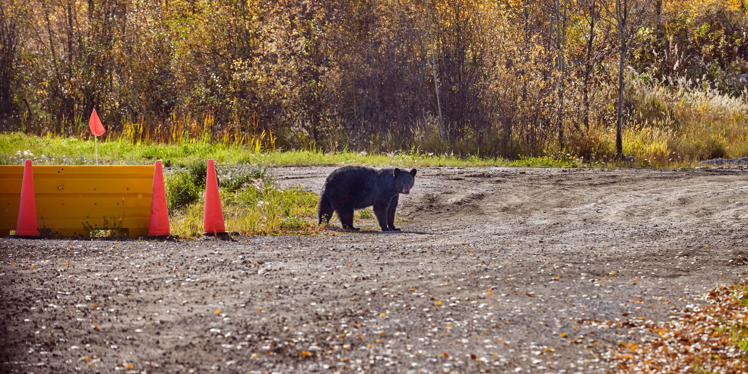 bear in the middle of a working site with orange cones around him
