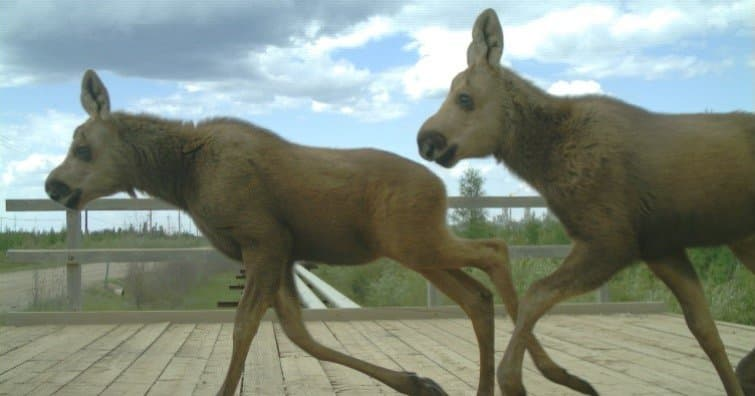 two moose calves crossing the overpass