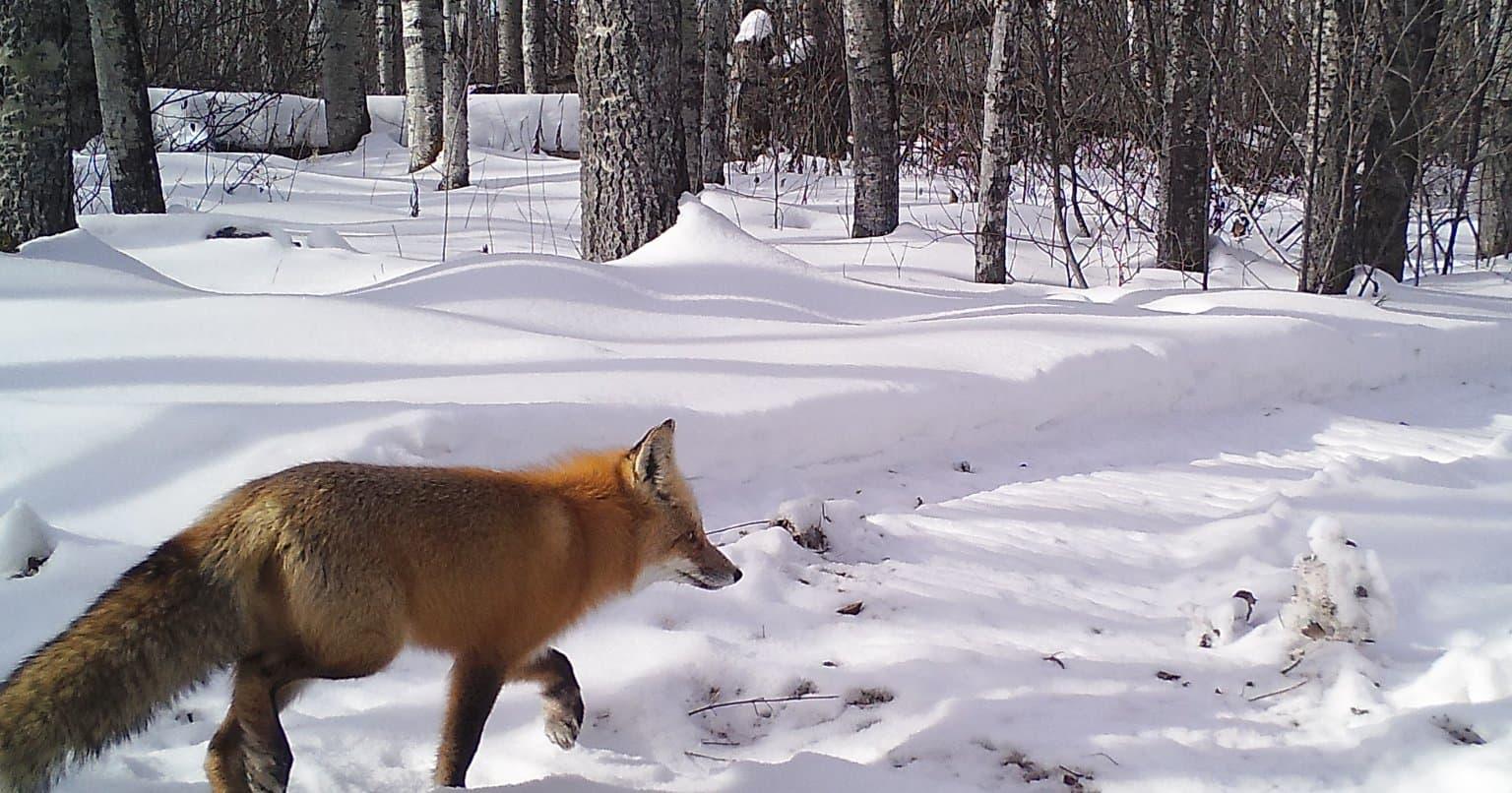 Un renard capté par l'une de nos caméras de surveillance de la faune.