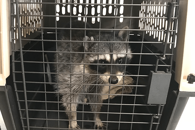 Larry gets ready to leave for rehabilitation with Critter Care Wildlife Society.