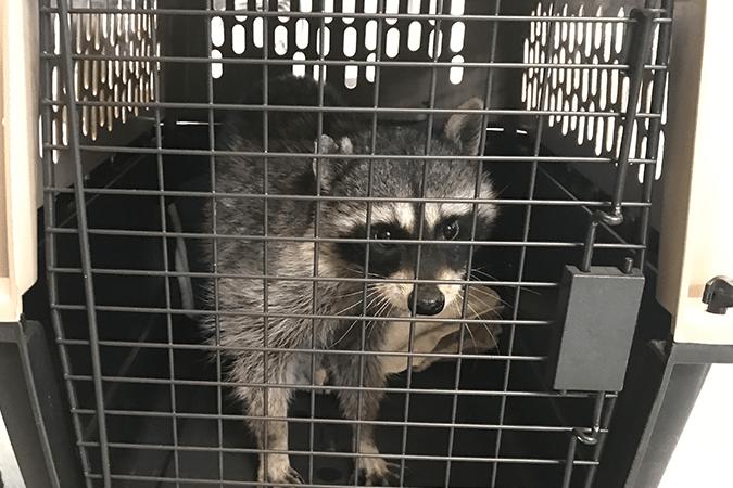 Larry se prépare à partir en réadaptation avec la Critter Care Wildlife Society.